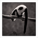 Black & White Ruffled Lemur