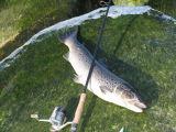 Salmon Truta