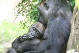Cincinnati Zoo Gorilla