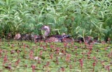 Wood Duck & chicks