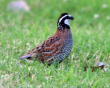 Bobwhite at 2Rivers and CAQuail in SLC