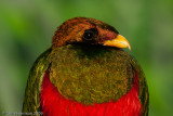 Trogons, Todies and Motmots