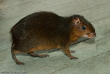 AgoutiDasyprocta sp.Houston Zoo