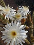 cerus flowers 5.jpg