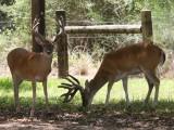 10 and 11pt Deer together
