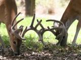 11pt and 10pt Deer Grazing Together