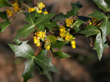 Wild Holly in Bloom