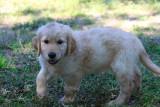 Our Golden Retrievers & Puppies