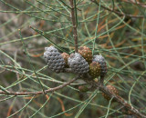 Allocasuarina distyla