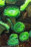 Sea Anemonies - New England Aquarium