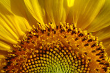 sunflower_chronicled