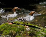 Ducks in a Row, Common Mergansers