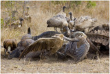 Fighting Vultures