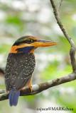 Rufous Collared Kingfisher, ( Female )