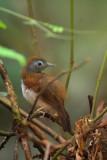 PASSERIFORMES : Timaliidae