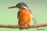 Common Kingfisher , Female