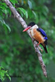 Black-capped Kingfisher (Halcyon pileata)