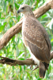 Grey-headed Fish-Eagle, Juvenile