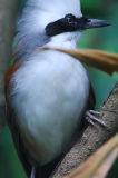 white-crested Laughingthrush ( Garrulax leucolophus )