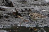 Lesser Sandplover ( Charadrius mongolus )