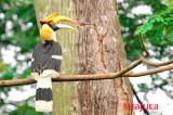 Great Hornbill, Female ( Buceros bicornis )