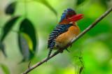Banded Kingfisher (Lacedo pulchella)