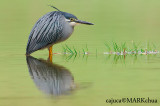 Little Heron ( Striated Heron - Butorides striata )
