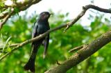 Drongo Cuckoo ( Surniculus lugubris )