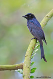 Crow billed Drongo, 1st winter