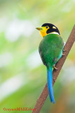 PASSERIFORMES: Eurylaimidae