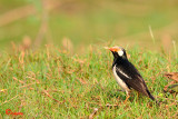 PASSERIFORMES: Sturnidae ( starling, Myna )