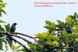 PASSERIFORMES : Dicruridae