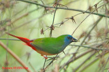 Pin-tailed Parrotfinch (Male)