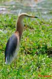 Javan Pond Heron ( Ardeola speciosa )