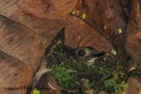 Grey-chested Jungle-flycatcher ( Rhinomyias umbratilis )