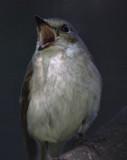 Birds yawning