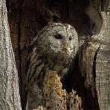 Tawny Owl (Kattuggla)