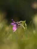Backsippa (Pulsatilla vulgaris), Uppland