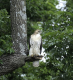 Redtail in the Forest