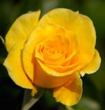 Yellow Rose... Of Texas?