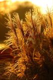 Glittering Grasses