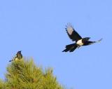 Magpie Airborn