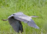 Blue Heron leaving Swamp