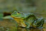 amphibiens__amphibia
