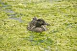 Duck swimming in Algae