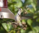 Female Rubythroat