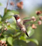 male ruby Redthroat hummingbird