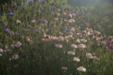 Field of flowers in early morning light