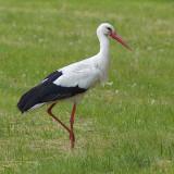 Stork on the grass