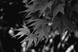 leaves shot in bnw mode